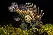 lionfish-711799_640
